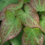 Epimedium x. versicolor 'Sulphureum'